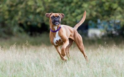 Understanding canine cruciate ligament disease